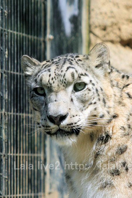 Snowleopard20110519