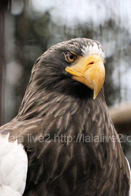 Stellers_sea_eagle2011030311