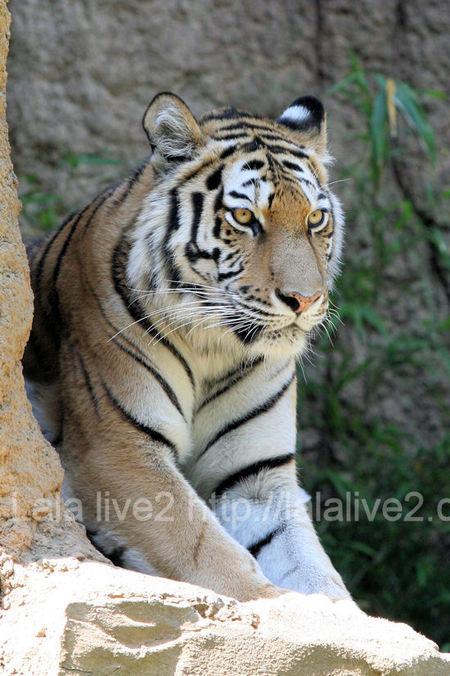 Tigers201105195