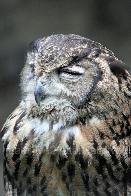 Owl20110728