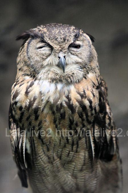 Owl201107281