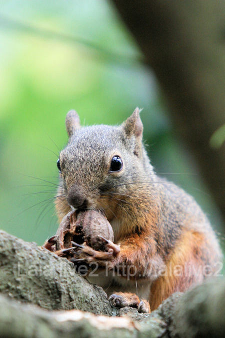 Squirrel201107287