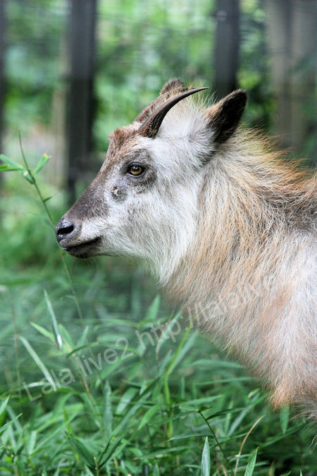 Japanese_serow201107281