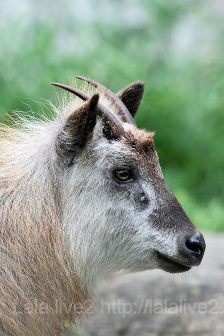 Japanese_serow20110728_2