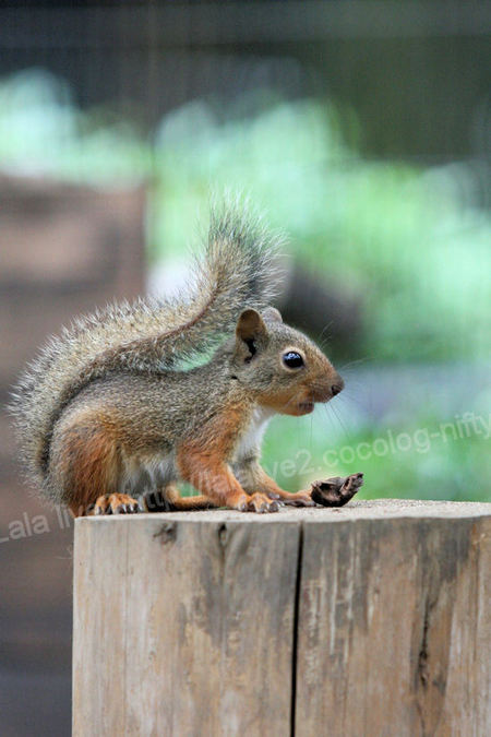 Squirrel2011072815