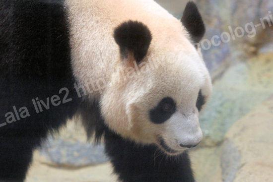Pandashinshin201109061