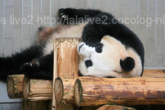 Pandashinshin201109062