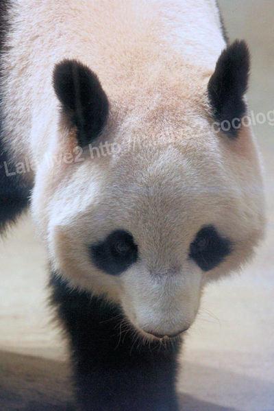 Pandashinshin20110906_2