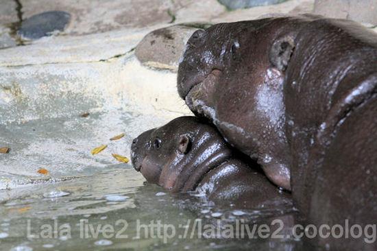 Pygmyhippopotamus20110906