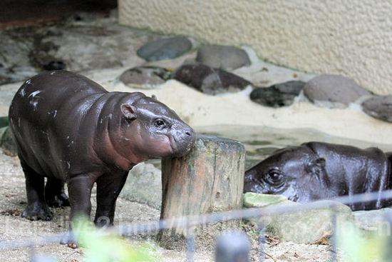 Pygmyhippopotamus201109062