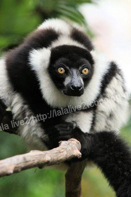Ruffed_lemur20110906