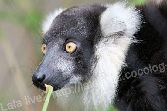 Ruffed_lemur201109061_3