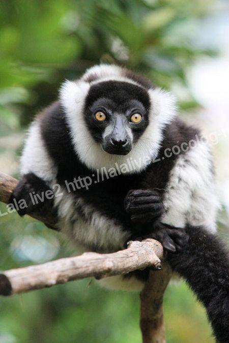 Ruffed_lemur201109062