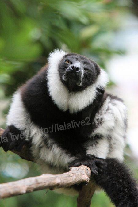 Ruffed_lemur201109063