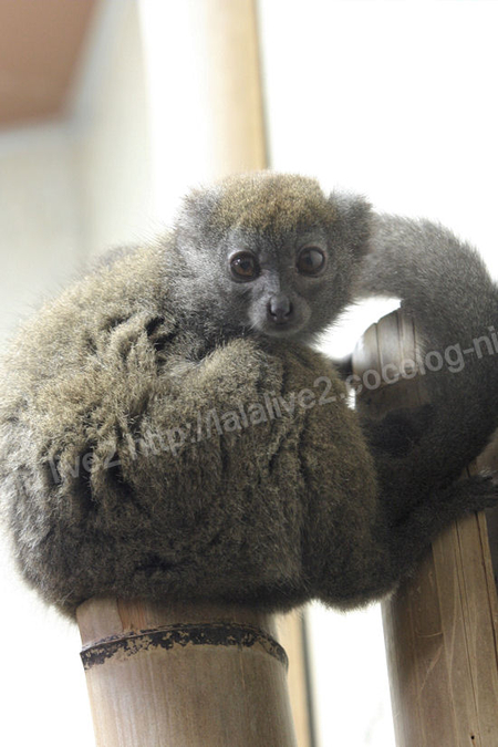 Grey_gentle_lemur20110906