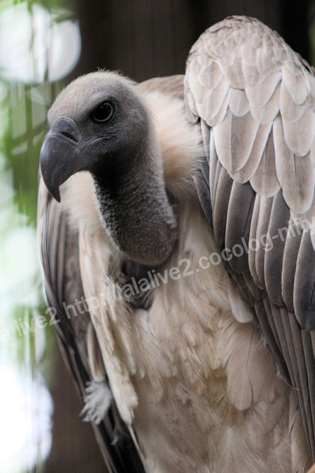 African_white_backed_vulture2011090