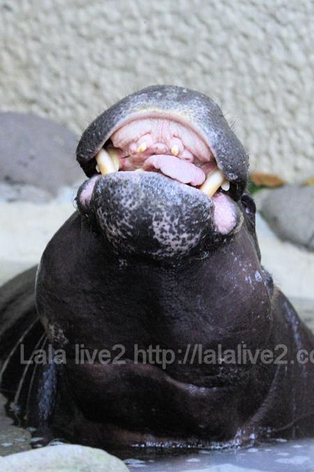 Pygmyhippopotamus2011090611