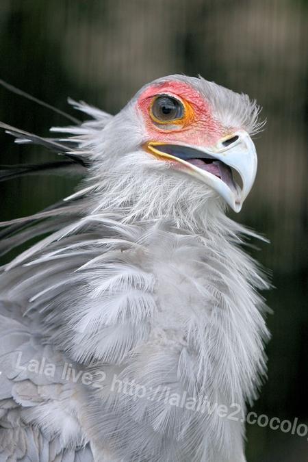 Secretarybird2011090644
