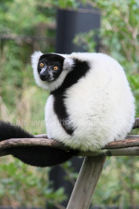Lemur20110906