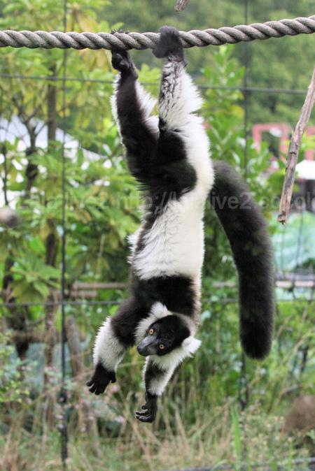 Lemur201109061