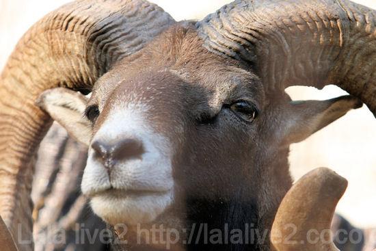Mouflon201110271