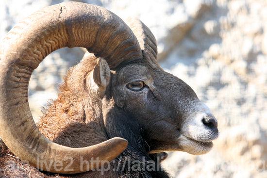 Mouflon201110272