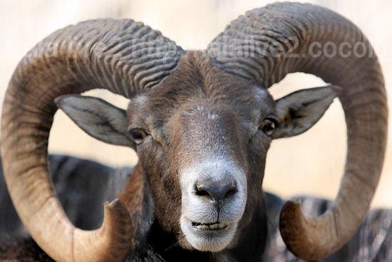 Mouflon201110273_4