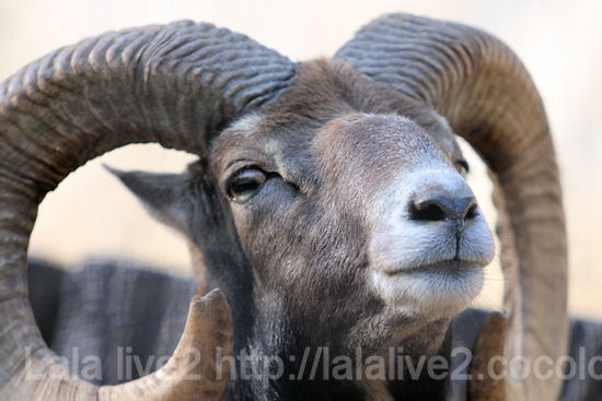 Mouflon20111027_2