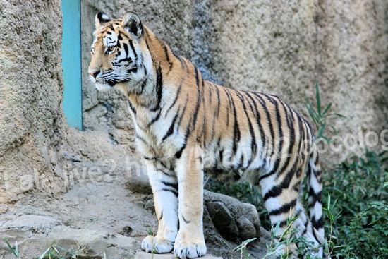 Tiger201110271_4