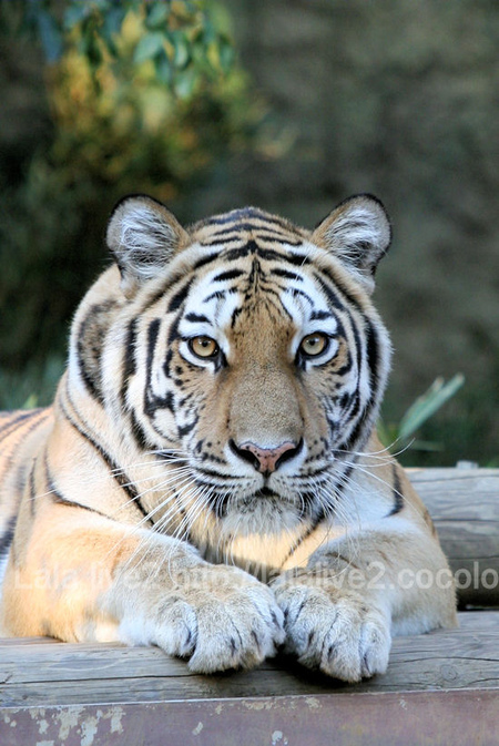 Tiger201110272