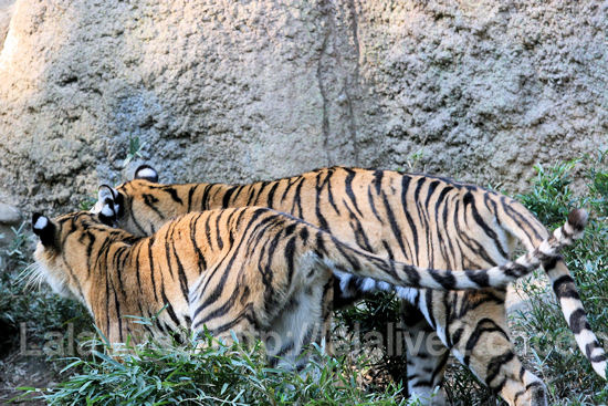 Tigers201110272