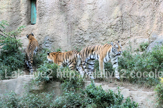Tigers20111027_2