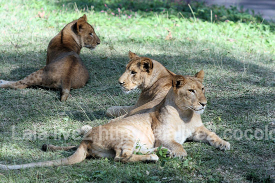 Lions20111027