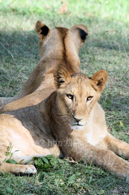 Lions201110271