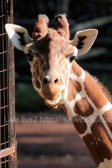 Giraffe20111027