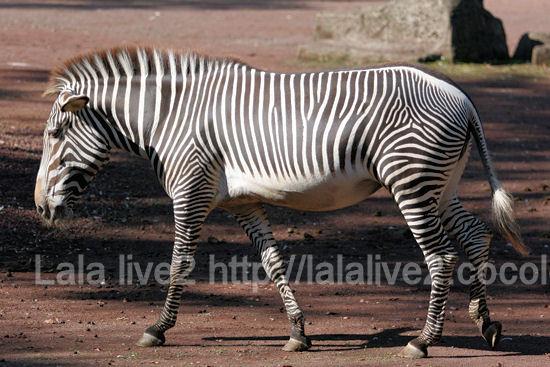 Zebra20111027