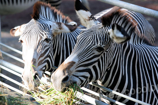 Zebra201110271_2