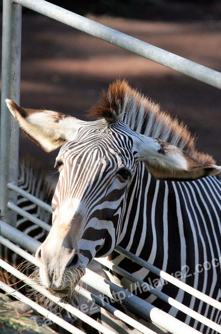Zebra201110272_2
