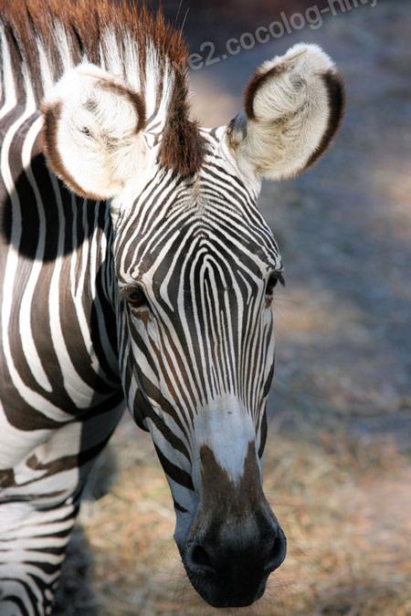 Zebra201110273_2