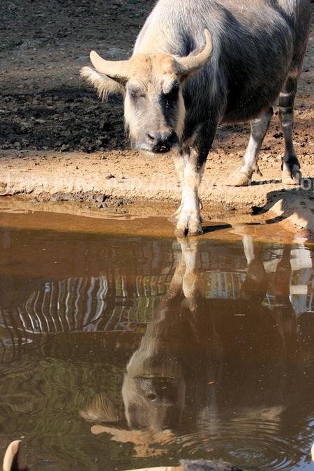 Waterbuffalo20111027