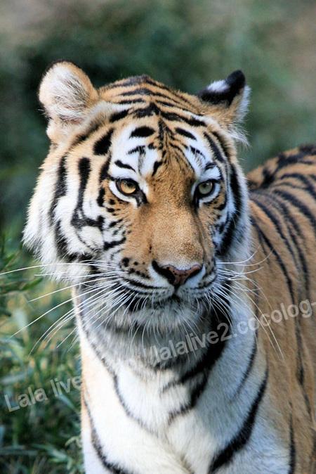Tiger201110273