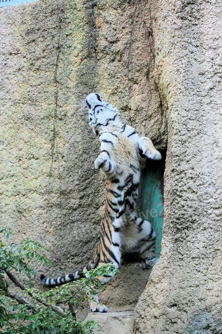 Tiger201110274