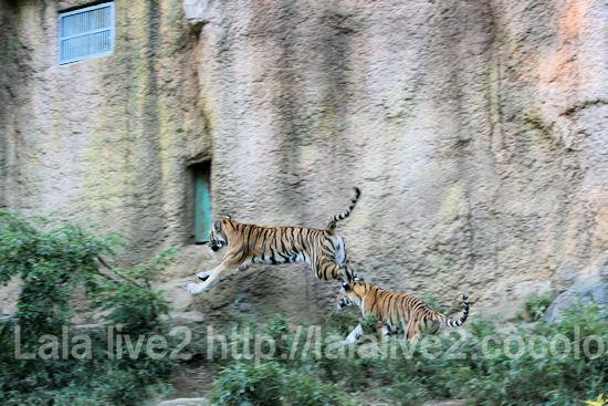 Tigers201110273