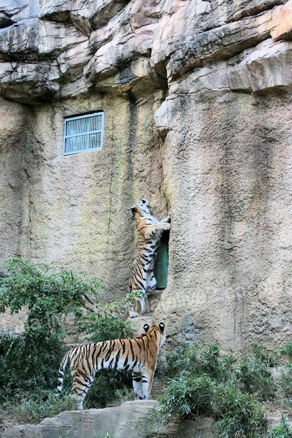 Tigers201110276
