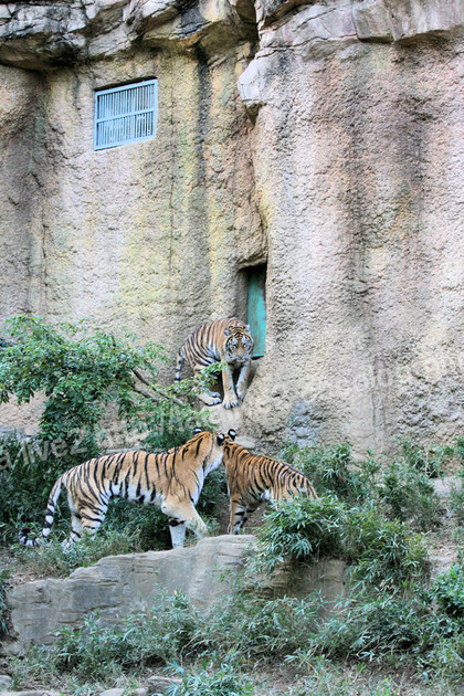 Tigers201110277