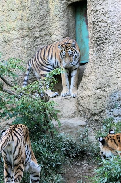 Tigers201110278