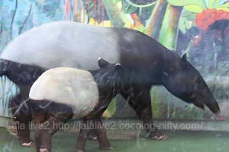 Tapir201110271