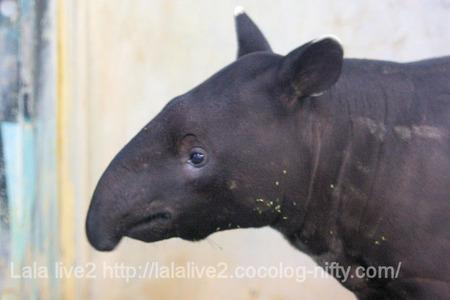 Tapir201110272_5