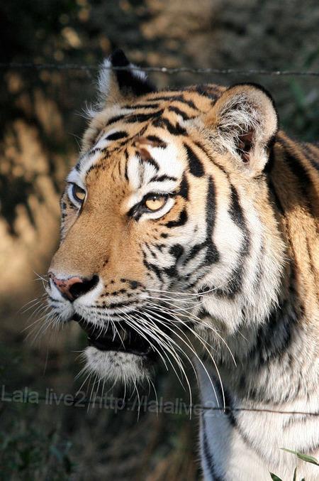 Tiger201110275