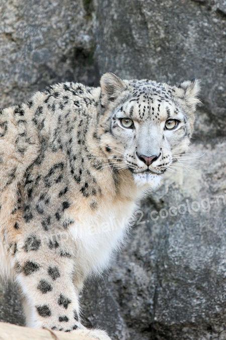 Snowleopard20111215